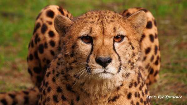 Kunst for dyrevelfærd Model til geparmaleri - Geparden Sara
