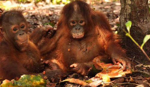 Adopteret orangutang