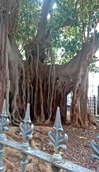 Træ som kunne have inspireret Gaudi
